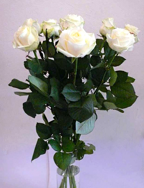 Bílé růže odrůda Avalanche